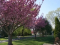 cherry blossoms 4 26 18 (1280x951).jpg